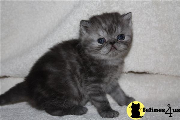 Kittens for Sale in Washington