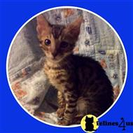 bengal kitten posted by TinyTreasuresAcres