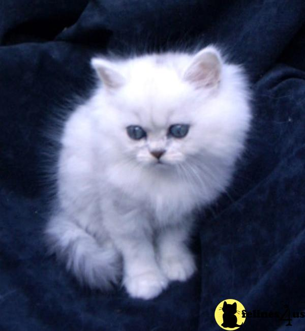New litter of Shaded Silver Persians