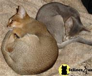 abyssinian kitten posted by ezeppo