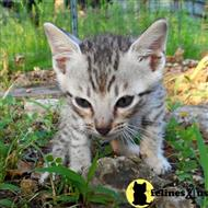 savannah kitten posted by DiamondAcres