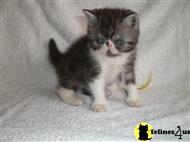 Kittens for Sale in Ne...
