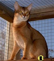 abyssinian stud posted by merrydancer