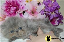 persian kitten posted by staceyspups