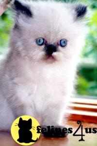 Persian Himalayan Chinchilla Kittens for Sale.