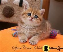 british shorthair kitten posted by a_botam