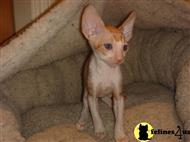 cornish rex kitten posted by Rextacular
