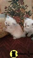 himalayan kitten posted by charity