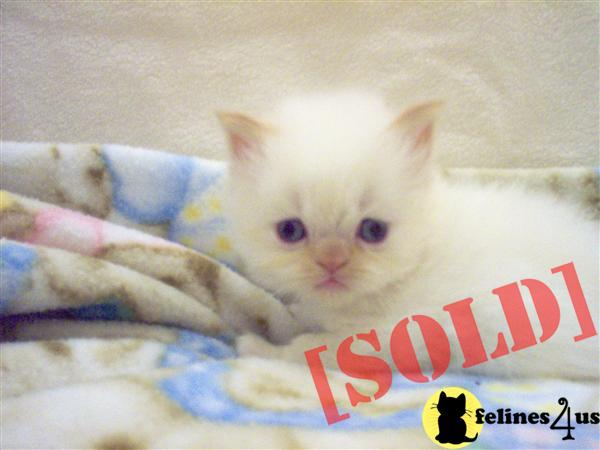 Cream Point Himalayan kitten available