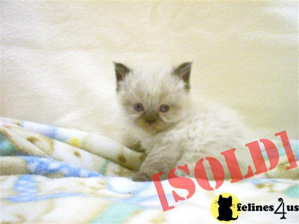 Seal Point Himalayan kitten available