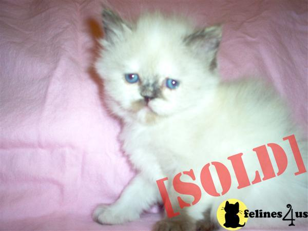TORTIE POINT HIMALAYAN AVAILABLE
