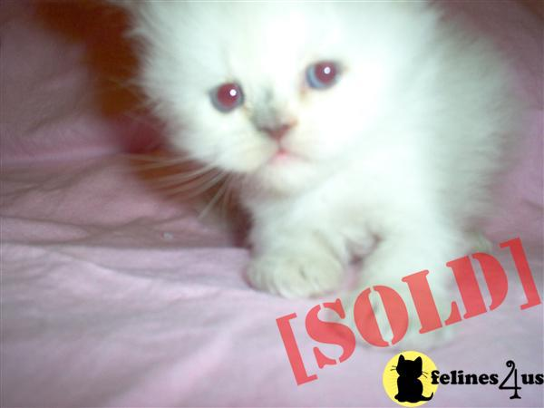 BLUE CREAM POINT HIMALAYAN KITTEN