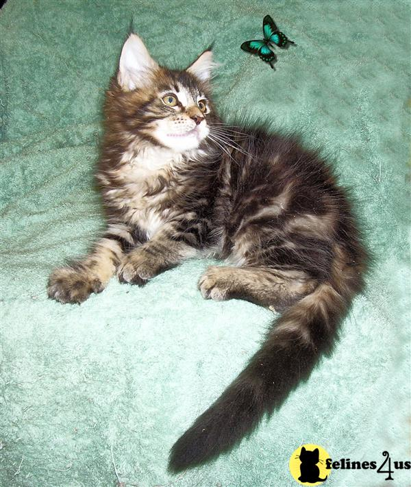 FL USA, Maine Coon Kittens