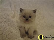 himalayan kitten posted by lftyndall