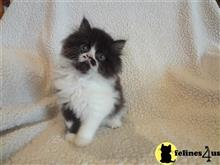persian kitten posted by lftyndall