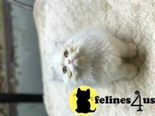 persian kitten posted by igroompets