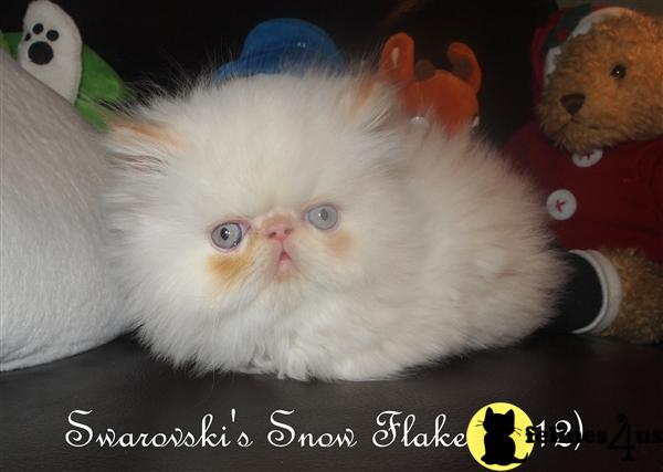 Flame Point Himalayan Cat Photos http://www.felines4us.com/Kittens/Himalayan18977.aspx