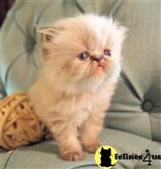himalayan kitten posted by SwarovskiCFA
