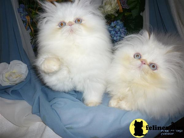 CFA  Flame Point Himalayan Kittens