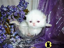 himalayan kitten posted by Maxx