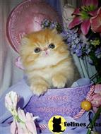 persian kitten posted by Maxx