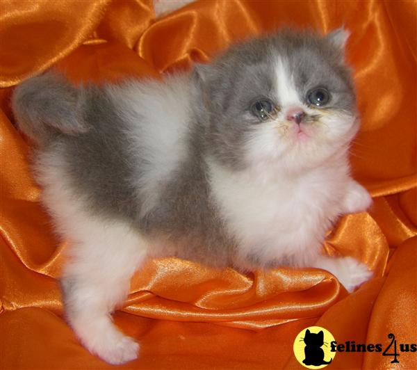 Kittens for Sale in North Carolina