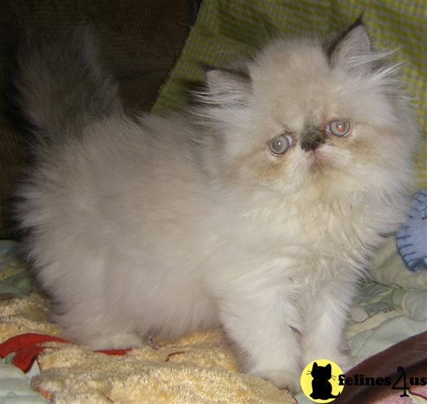 Himalayan Kittens in North Carolina
