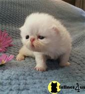 persian kitten posted by Breezybrook