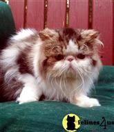 persian cat posted by Breezybrook