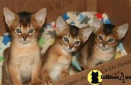 abyssinian kitten posted by moonlight farms