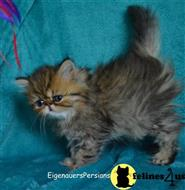 persian kitten posted by eigenauers