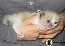 ragdoll kitten posted by jkbloyer